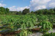 युवा आकर्षण : मेवाकाे व्यवसायीक खेतीतर्फ   (फाेटाे फिचर सहित)