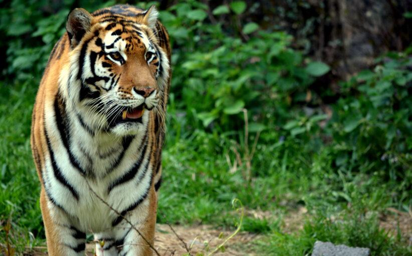 विश्व बाघ दिवस आज मनाइदैं